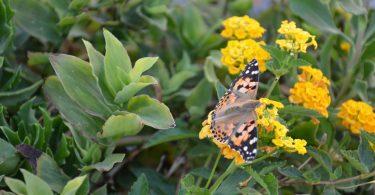 Πλέον βλέπουμε ενδιαφέροντες επισκέπτες στα φυτά μας! Πεταλούδες, μέλισσες και πασχαλίτσα φυσικά!